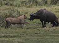 战斗中的动物们