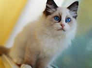 体型大的英短布偶猫图片大全