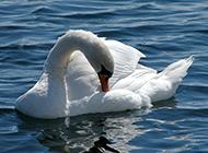 美丽的白天鹅池塘戏耍图片
