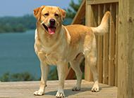 纯种黄色拉布拉多犬图片