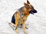 德国黑背狼犬图片模样帅气