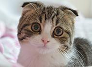可爱折耳猫求抱抱图片