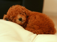 狗狗可爱高清睡姿图片