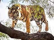 百兽之王老虎高清个性写真