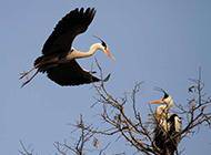 鸟类图片大全欣赏 草塘里翱翔的苍鹭