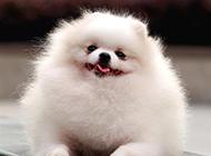会微笑的白色球形博美犬图片