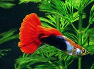 巴西红扇孔雀鱼图片美美哒