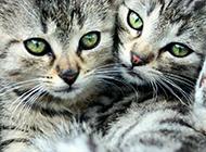 美国虎斑猫相亲相爱图片