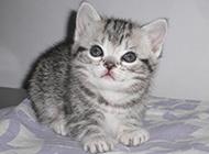 超级萌宠小虎斑猫图片
