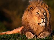 凶猛高大的霸气狮子壁纸