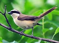 灰背伯劳鸟树林栖息图片