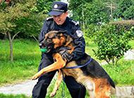 德牧警犬训练图片神气威风