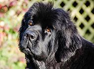 可爰纽芬兰犬无辜眼神图片