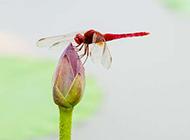 公园的荷塘里蜻蜓点水图片