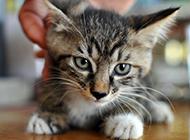 可爱小巧的狸花猫图片