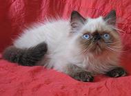 呆萌小巧的喜马拉雅种猫图片