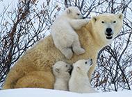 北极熊有趣生活场景:笨重身体溅起巨大水花