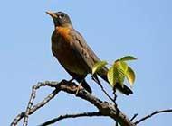 动物世界鸟类图片黑喉红尾鸲