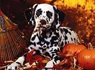 忧郁犯傻的斑点狗居家生活照片