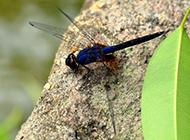 可爱的蜻蜓微距图片