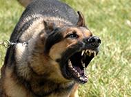 中华黑狼犬凶猛龇牙图片特写