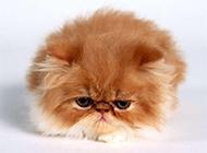 可爱毛茸茸的猫咪宠物图片