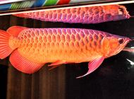 马来西亚红龙鱼图片欣赏