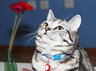 蓝白英短猫图片眼神呆萌可爱