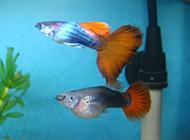 鱼缸里的热带鱼凤尾鱼图片