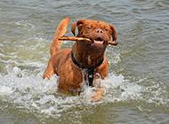 法国波尔多犬勇敢聪明图片