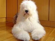 成年古牧犬萌萌的图片