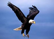 天空翱翔老鹰唯美图片欣赏