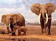 野生群居大象动物图片