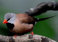 机灵小巧的灰珍珠鸟图片