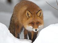 可爱狐狸雪地漫步图片