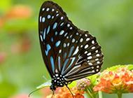 漫天飞舞的蝴蝶特写高清壁纸