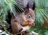 可爱乖巧的松鼠高清图片