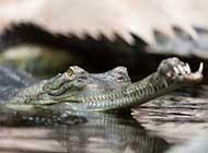活化石之鳄鱼近图赏析