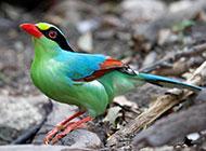南方中型鸟类蓝绿鹊图片壁纸