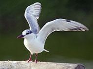 中型鸟类燕鸥图片特写