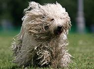 可蒙犬草地欢乐奔跑图片