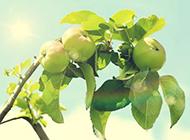 诱人青苹果挂满枝头