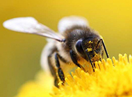 花丛中忙碌飞舞的小蜜蜂图片
