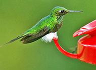 绿色羽毛的蜂鸟摄影图片