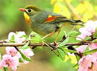七彩相思鸟春日唯美写真图片