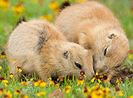 地鼠草地欢乐戏耍图片