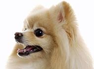 博美犬蝴蝶犬高清宠物狗图片合集