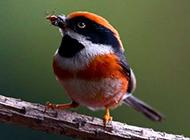 常见野生鸟类图片活泼觅食的山雀特写
