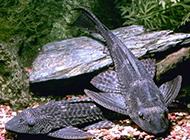清道夫鱼舔食青苔的图片