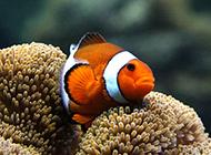 澳洲小丑鱼图片高清特写